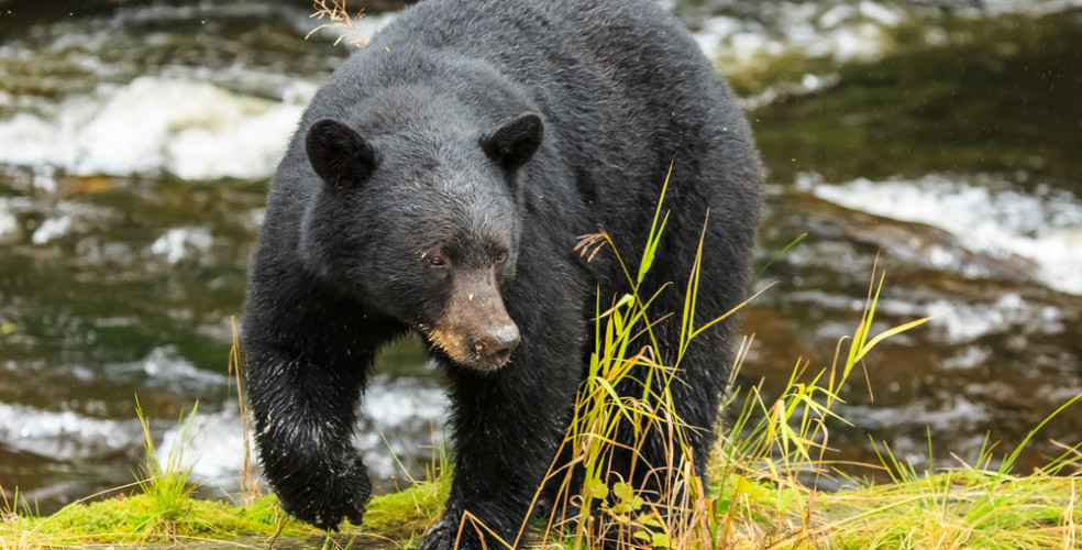 First black bear of the season spotted in North Vancouver