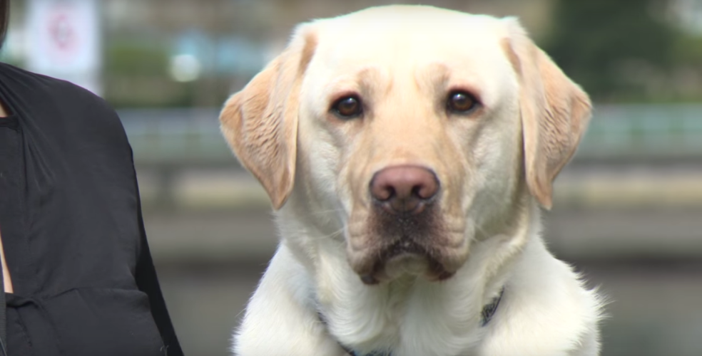 VPD's adorable new dog will help comfort victims