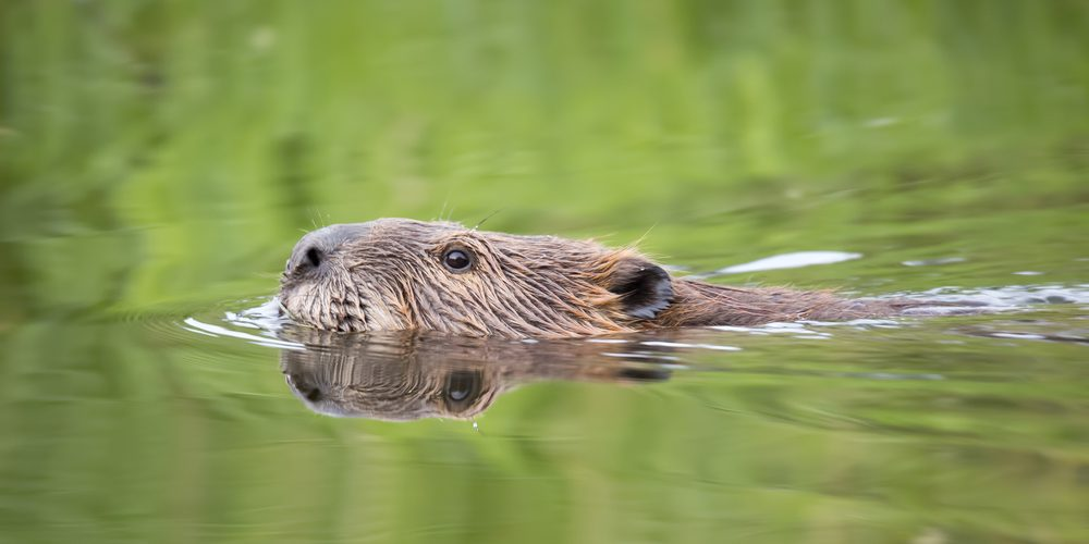 The Olympic Village beavers now have their own Twitter account