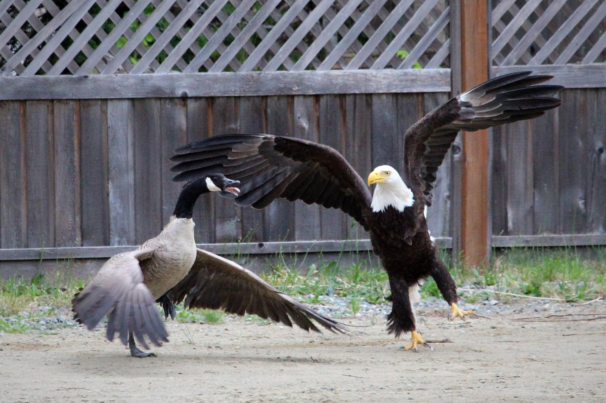 A Canada Goose and an American Eagle just fought on Vancouver Island