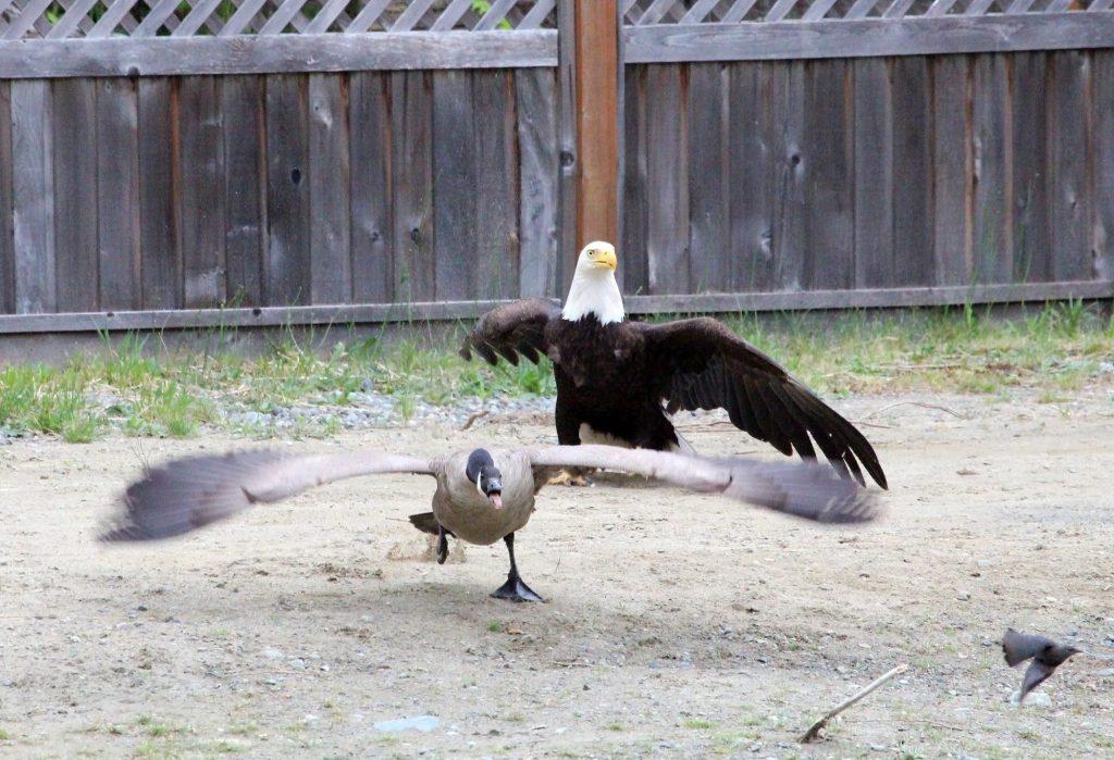 Eagle vs. Goose Vancouver Island