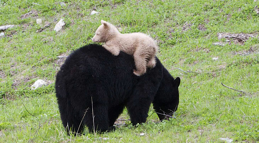 The new caramel bear cub was spotted with his mother in Whistler (WhistlerBlackcomb)