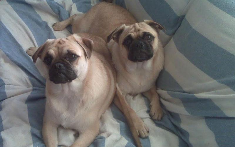 Pug puppy sisters (Jan Janack)