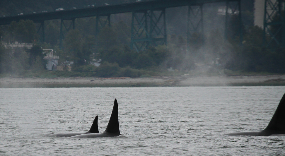 Orca whales spotted near Lions Gate Bridge (PHOTOS)