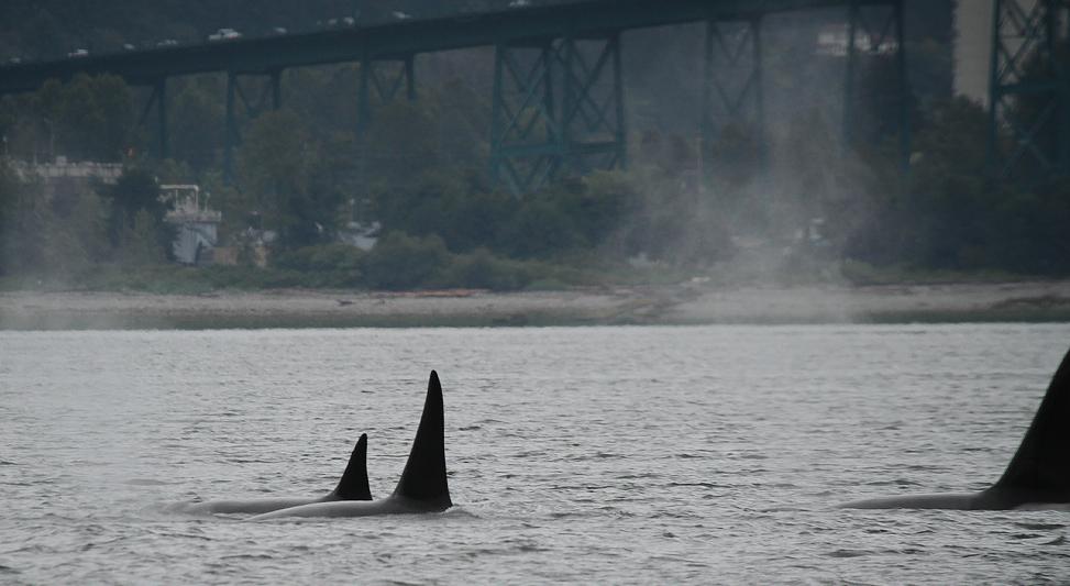 Killer whale orca whale vancouver a