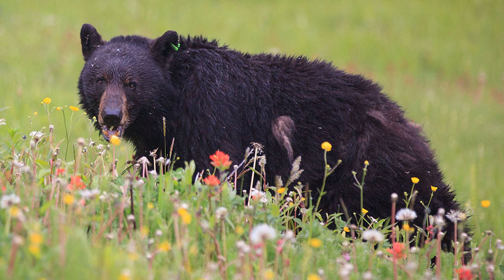 The number of BC black bears destroyed has nearly doubled since last year
