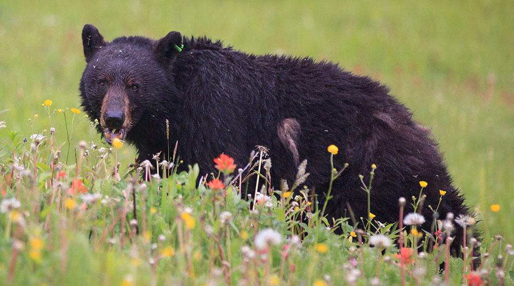 Whistler bears enjoy dinner and dating on ski hills (PHOTOS)