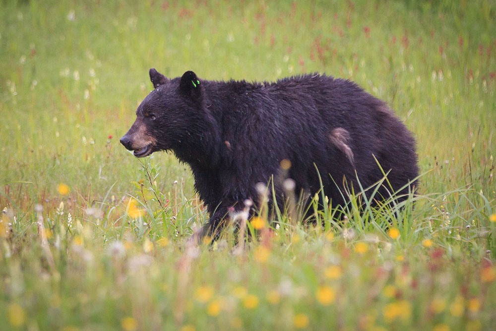 Bear attack in Canmore leaves woman injured