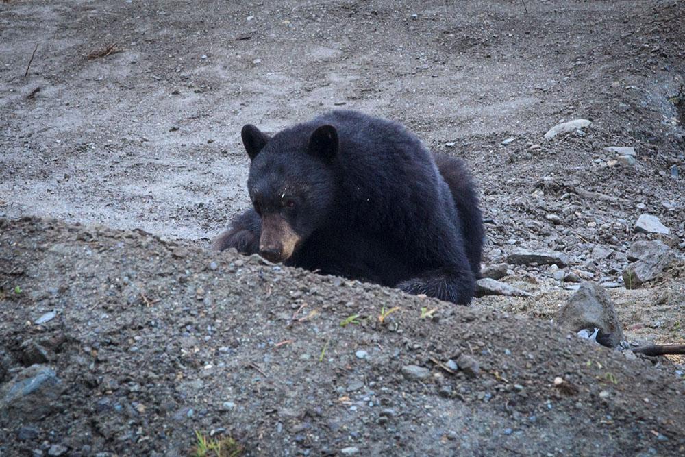 Bear in Whistler (Jenni Sheppard/Daily Hive)