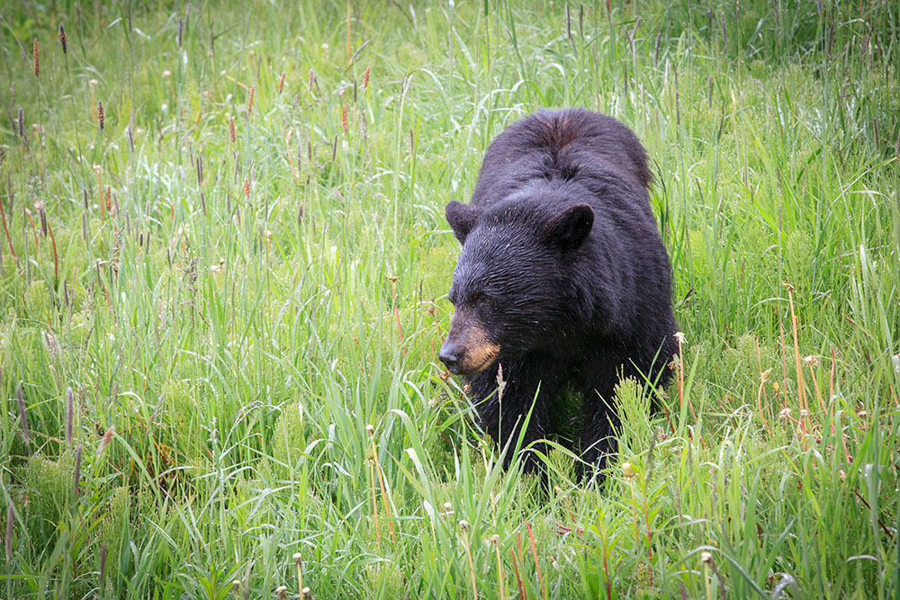 Bear in Whistler (Jenni Sheppard/Daily Hive)
