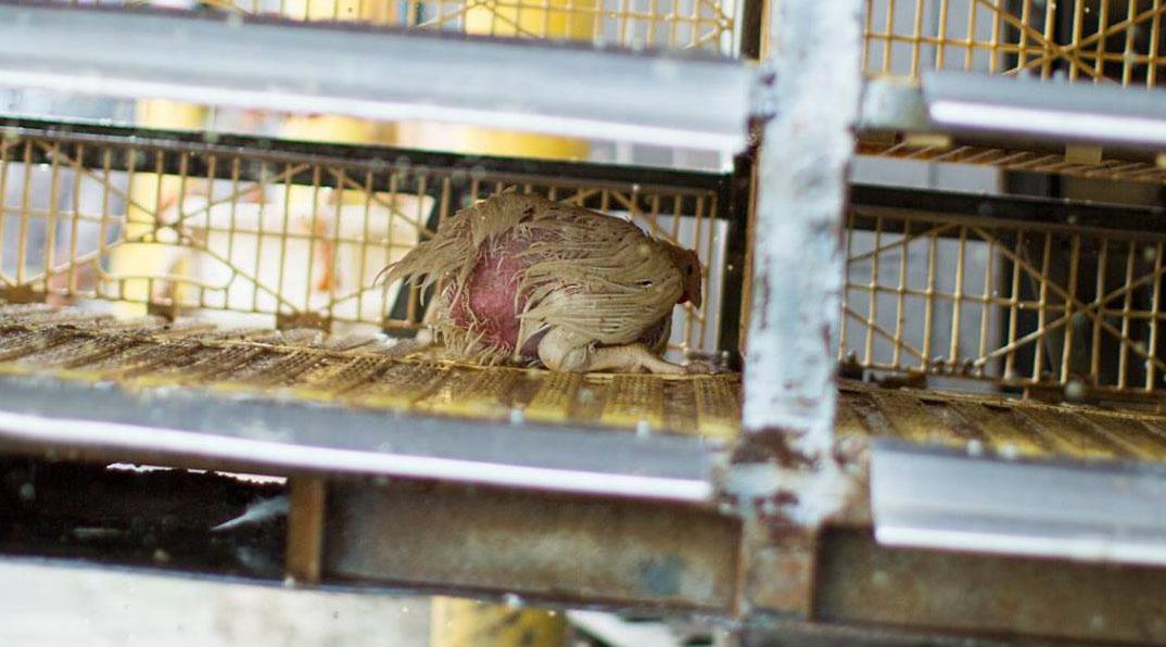 Chicken in slaughterhouse sanitizer kulbacki animal justice 1