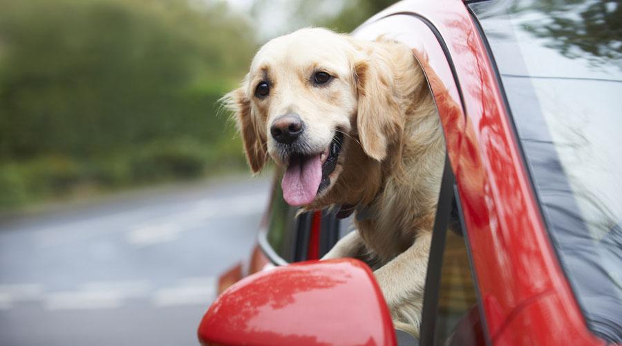 Shutterstock dog car1