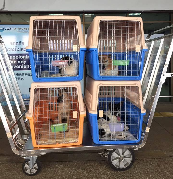 The pups being loaded in Thailand (L.E.A.S.H.)