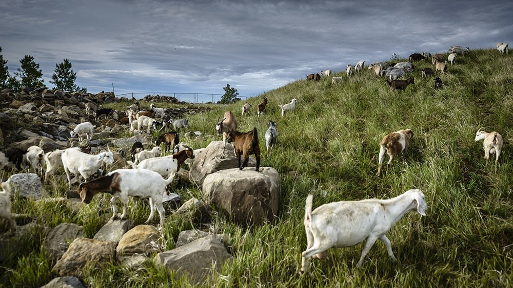 Calgary's goats grazing in a rocky area of the park (City of Calgary)
