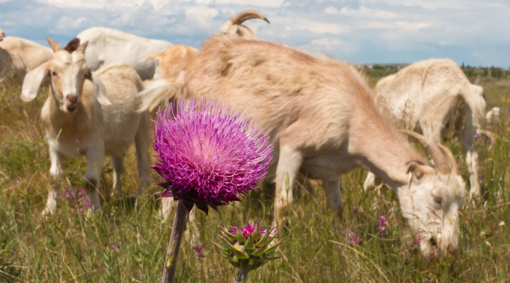 Meet Calgary's grazing goat garburators this Saturday