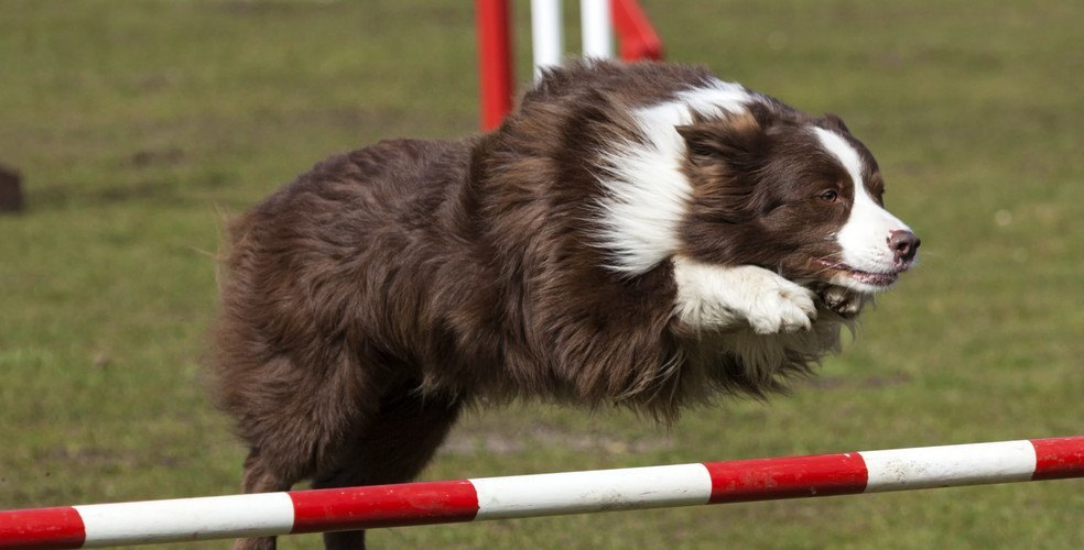 Dog stunts and puppies coming to the Dog Bowl at the Calgary Stampede