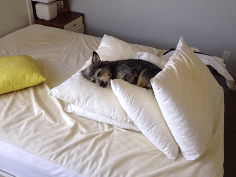 An exhausted Seymour not waiting for new sheets on the bed.