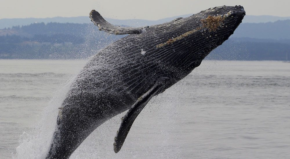 50 humpback whales seen breaching and feeding around Victoria (PHOTOS)