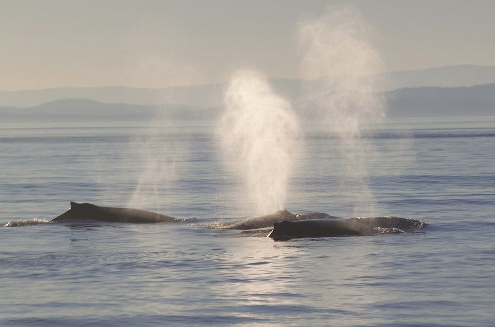 A group of humpback whales (Five Star Whale Watching)
