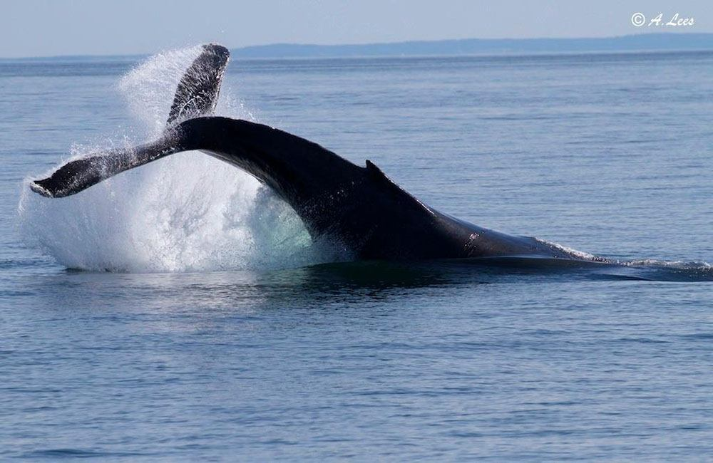 A humpback whale diving (Five Star Whale Watching)