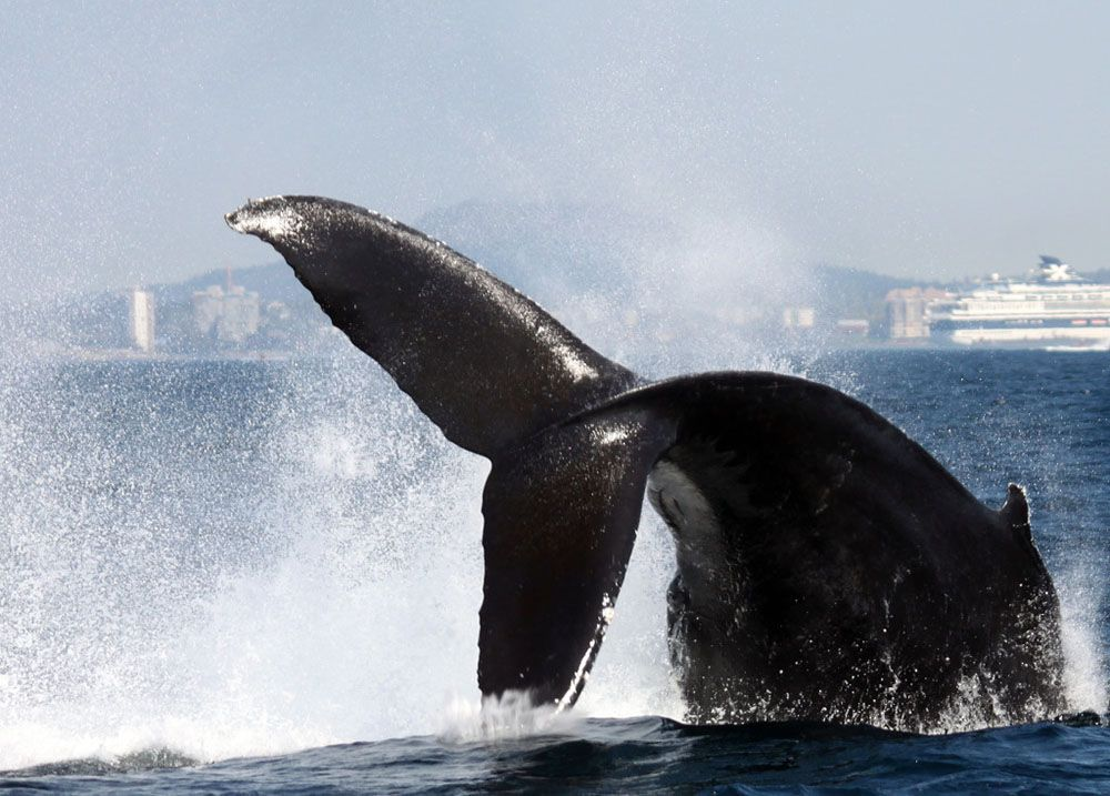 A humpback whale tail fluking (Five Star Whale Watching)