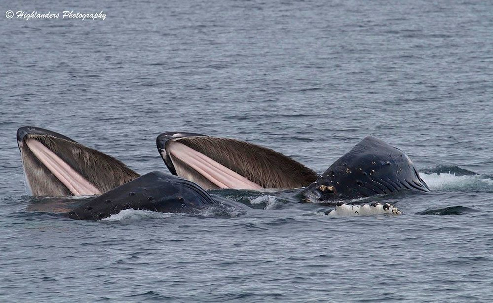 Humpback whales lunge-feeding (Five Star Whale Watching)