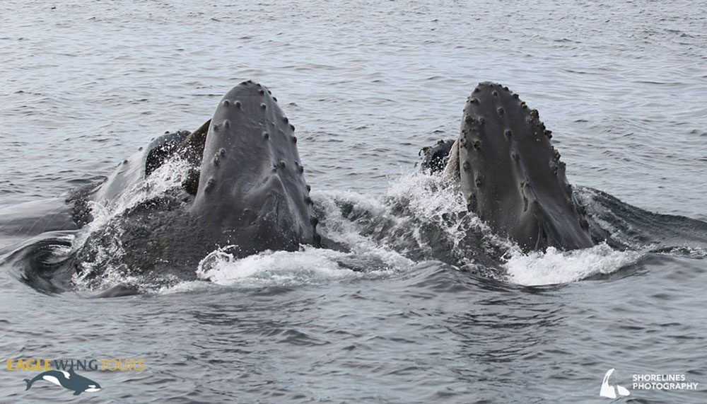 Two humpback whales lunge-feeding (Shorelines Photography Eagle Wing Tours)