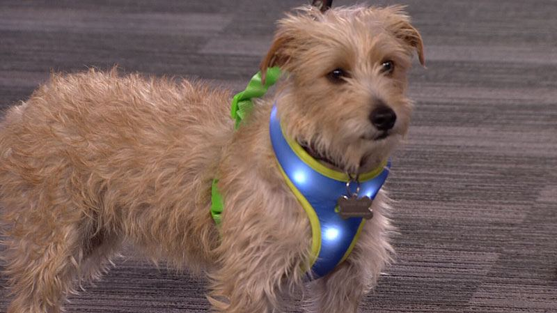 Dougall the rescue dog wears the LED light-up harness.