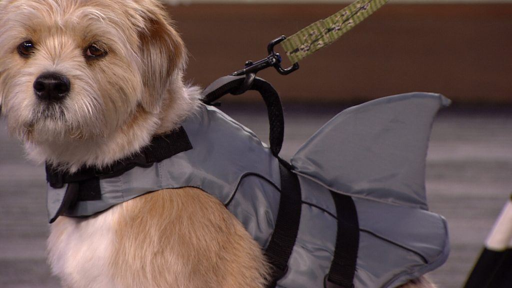 Oscar the terrier mutt models the Top Paw life jacket from PetSmart.