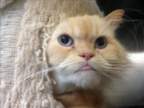 Sky the Persian (Vancouver shelter).