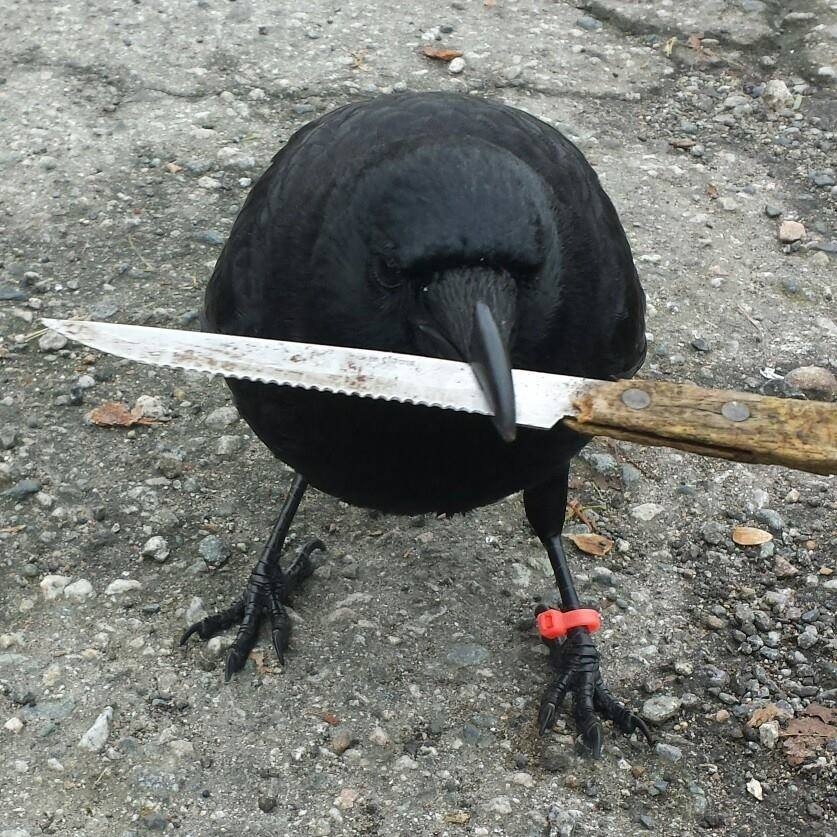 "Canuck the Crow with the ""stolen"" knife (Canuck and I/Facebook)"