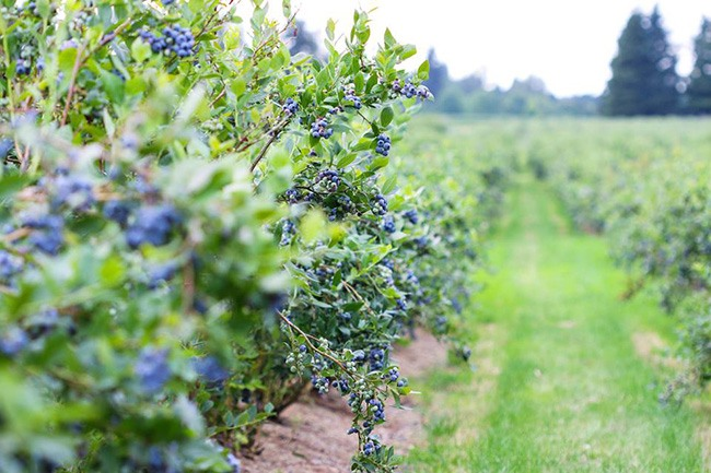 Krause berry farms estate winery fb