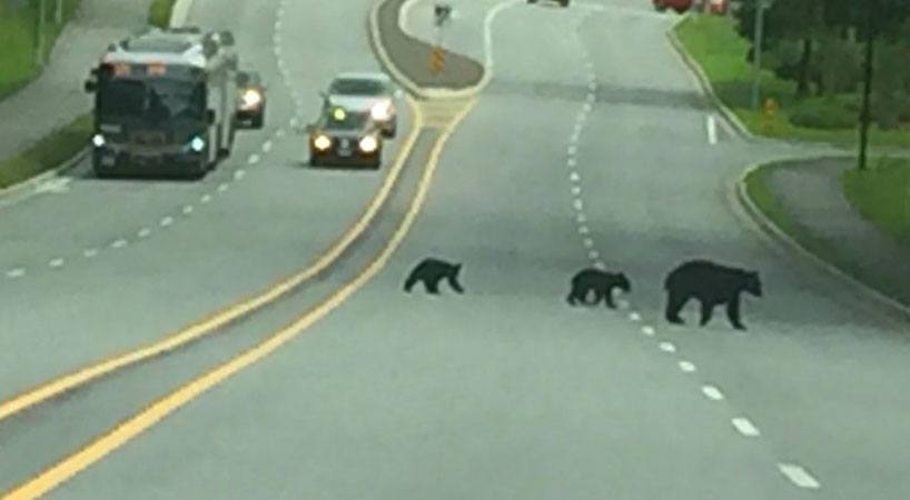 Bear and cubs crossing outside sfu %40sfu twitter