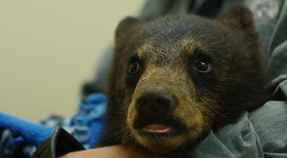 An orphan black bear cub named wasabi visits the vet in smithers b.c. as part of his care by the northern lights wildlife shelter. nick quenville omnifilm entertainment