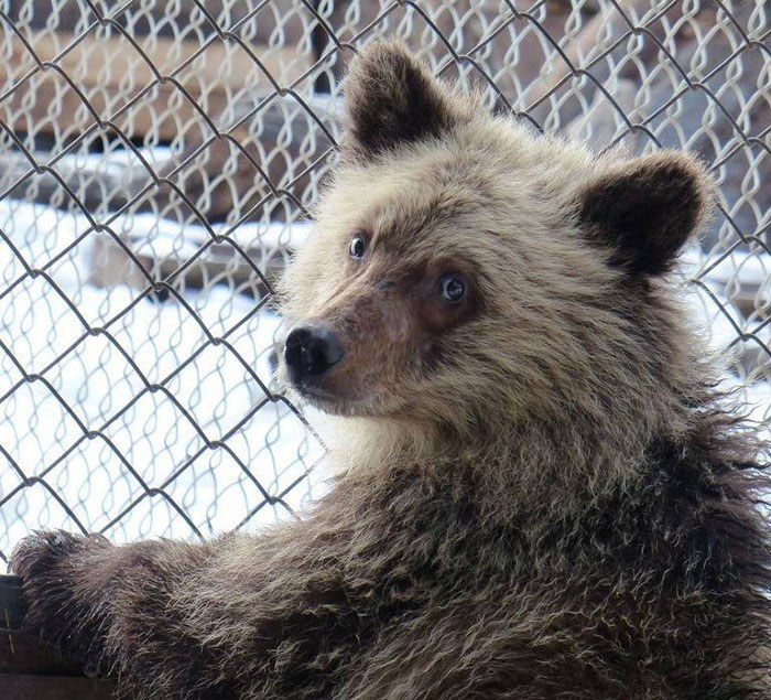 Valentine, an orphan grizzly rescued from a ski resort near Golden in December, 2014. (Northern Lights Wildlife Shelter)