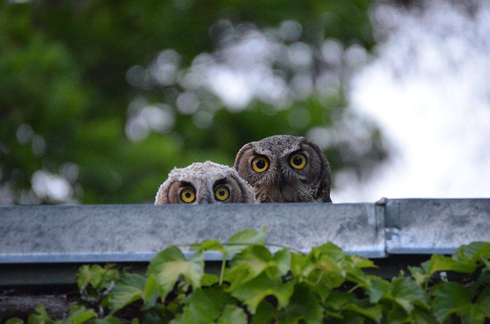 Hello - Great Horned Owls, mother and chick (Paul Cowhig)
