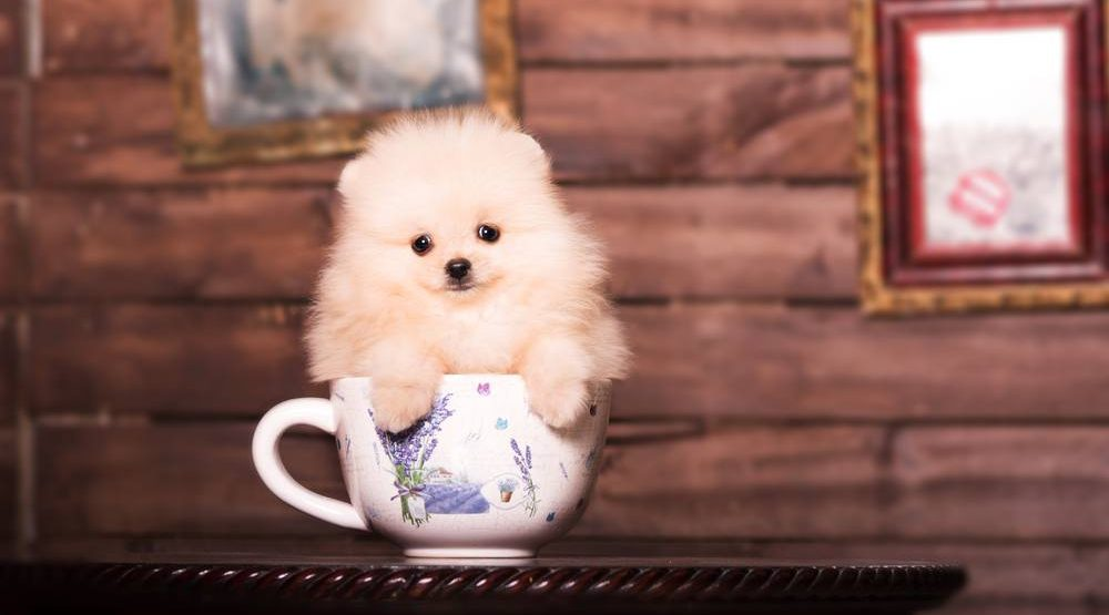 Cups and pups - pop up puppy café to open in Vancouver this Friday