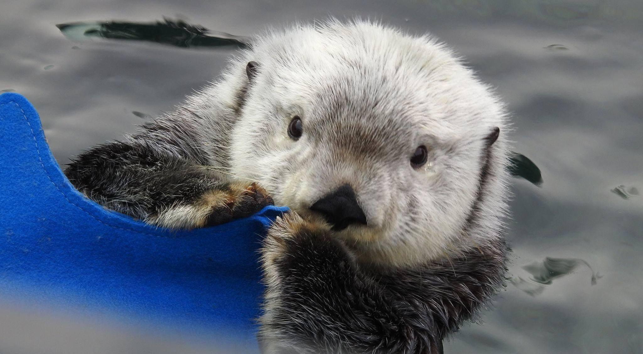 Sea otter at vancouver aquarium vancouver aquariumfacebook