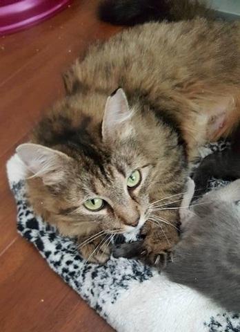 Cat large lynxy 14985 1