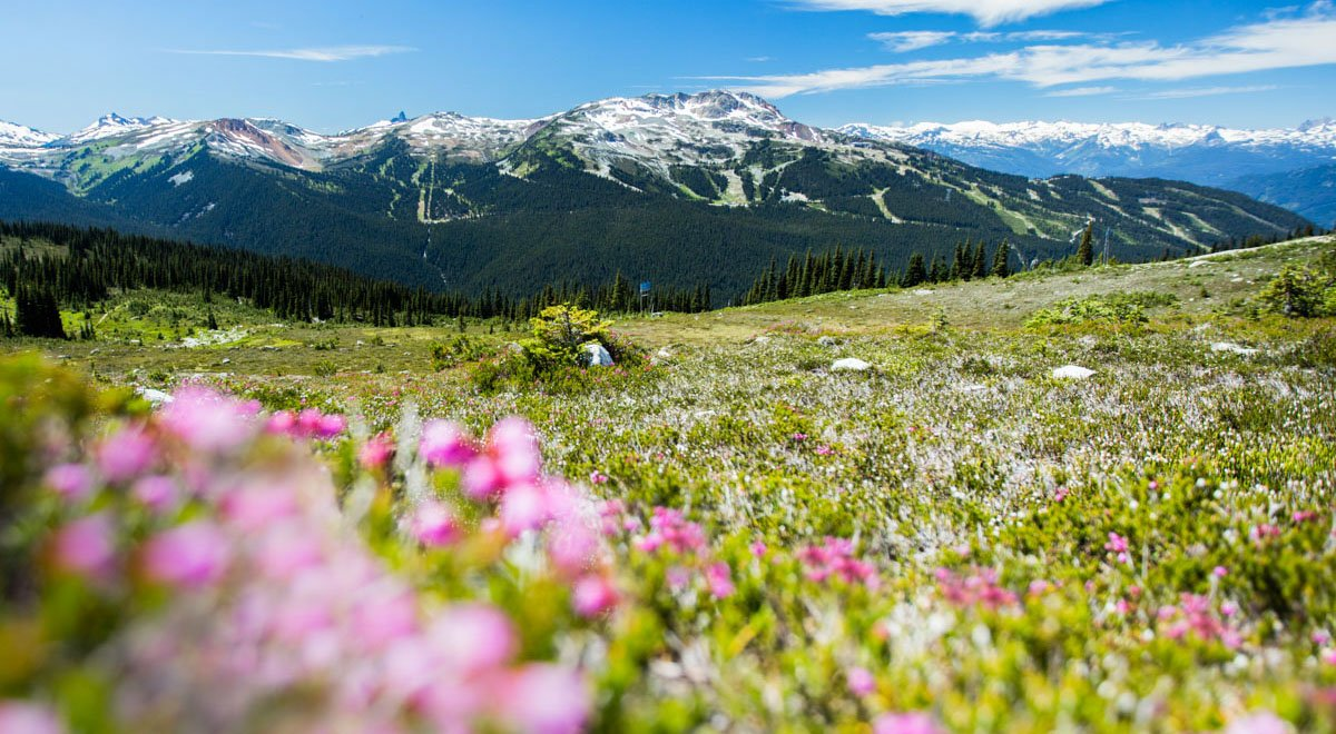 Go hiking among the wildflowers on whistler blackcomb in summer whistler blackcomb