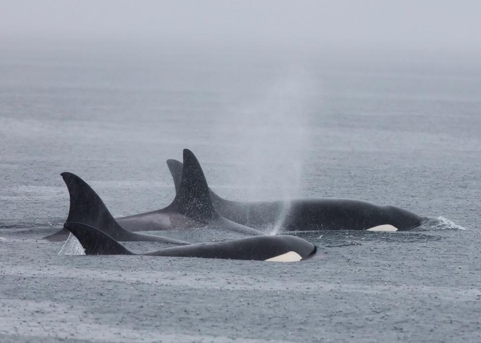 Orca humpback whale fight vancouver island victoria 13
