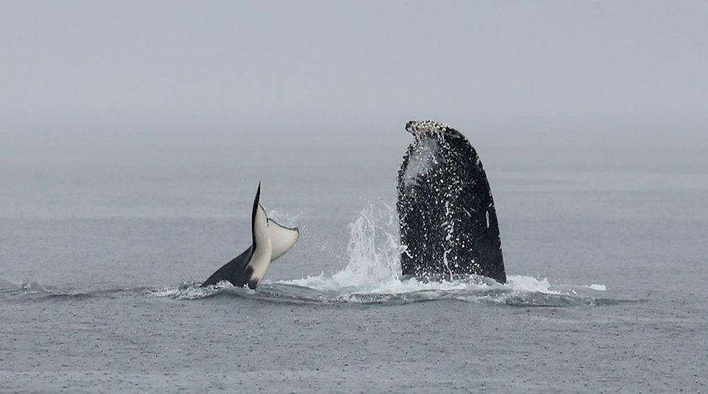 Orca humpback whale fight vancouver island victoria f
