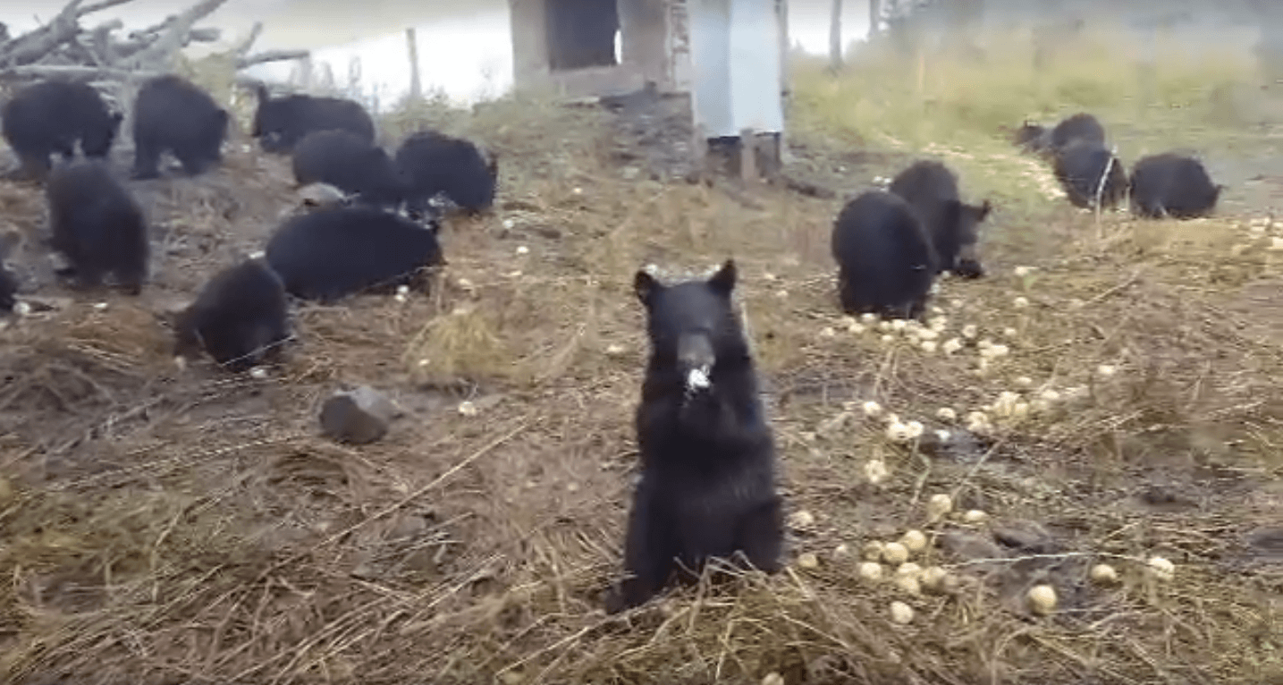 This video of bear cubs eating apples will warm your heart
