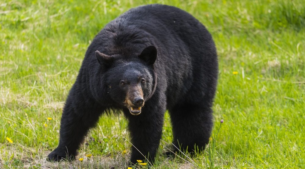 Headless black bear discovered on Vancouver Island trail