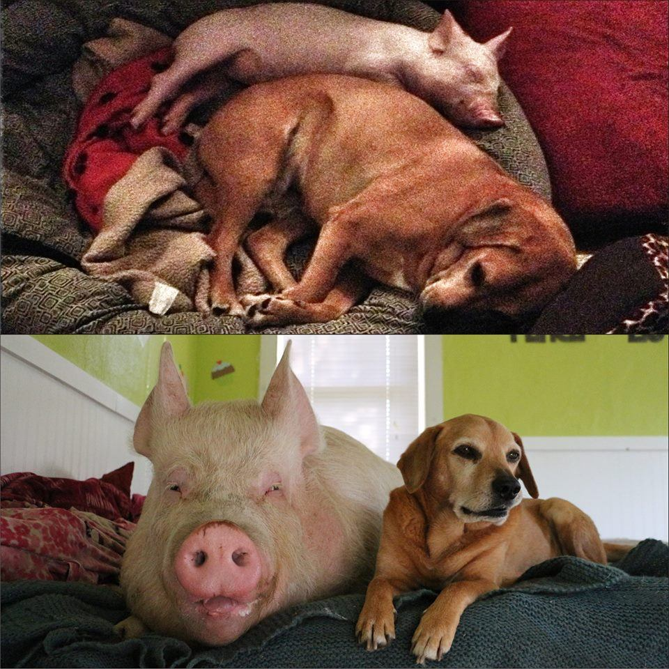 Esther as a piglet, and now full grown, with the family dog.