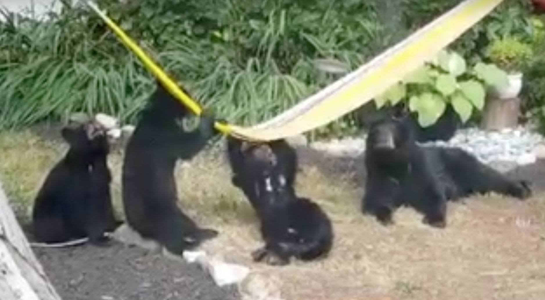 Black bears cubs flummoxed by hammock in Gibsons, BC