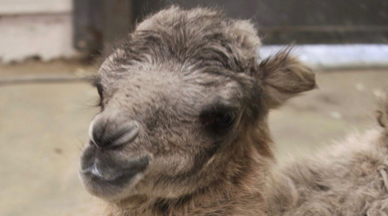 The Toronto Zoo's camel just had a baby camel and it's pretty freaking cute