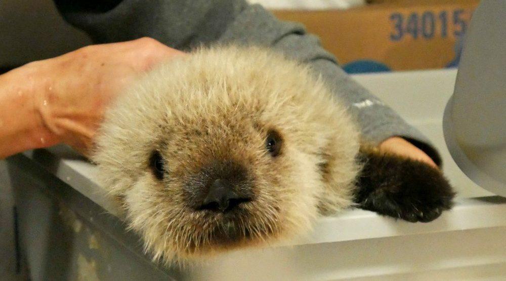 Adorable baby sea otter to call Vancouver Aquarium home (PHOTOS)