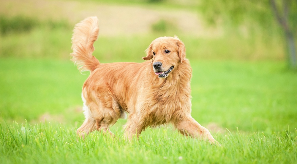 Golden retriever dog running in park rita kochmarjovashutterstock