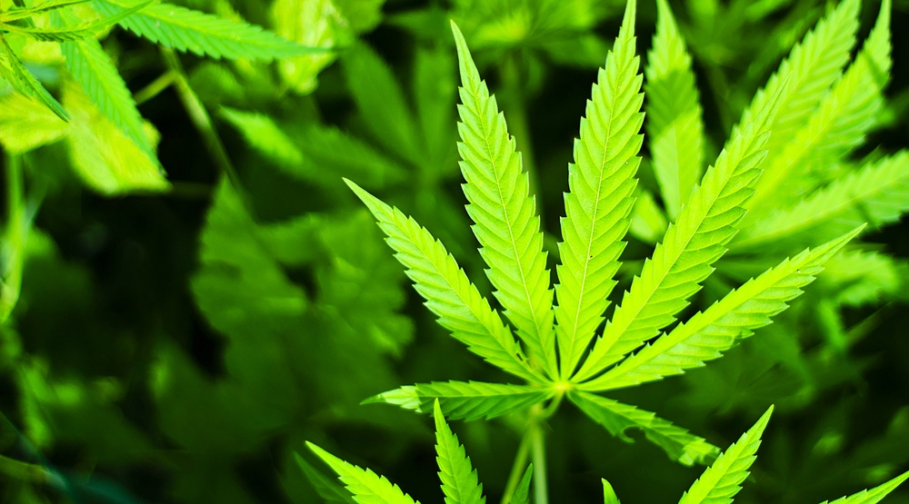 Marijuana plant sarra22shutterstock